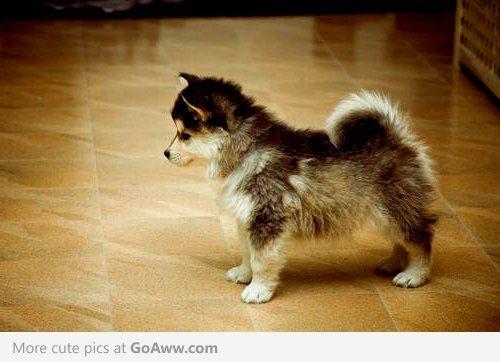 Husky Corgi Mix Puppy - So Cute   Fuzzbutts   Pinterest