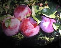 021 – La Pruina en las uvas se encuentra en...  (A) = La pulpa  (B) = El hollejo  (C) = Las semillas