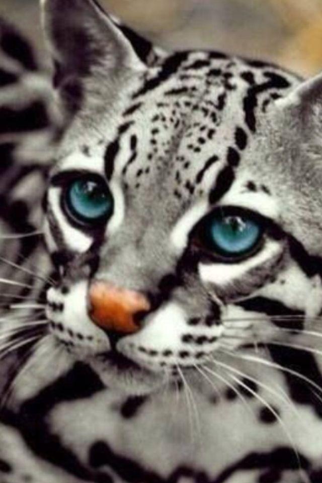 ocelot cat pics