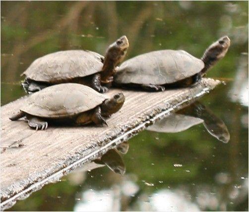 Western Pond Turtle Turtle drawing Pinterest