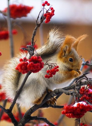 exquisite photograph of magnificently coloured squirrel in brilliant bush of deliciously delicate buds