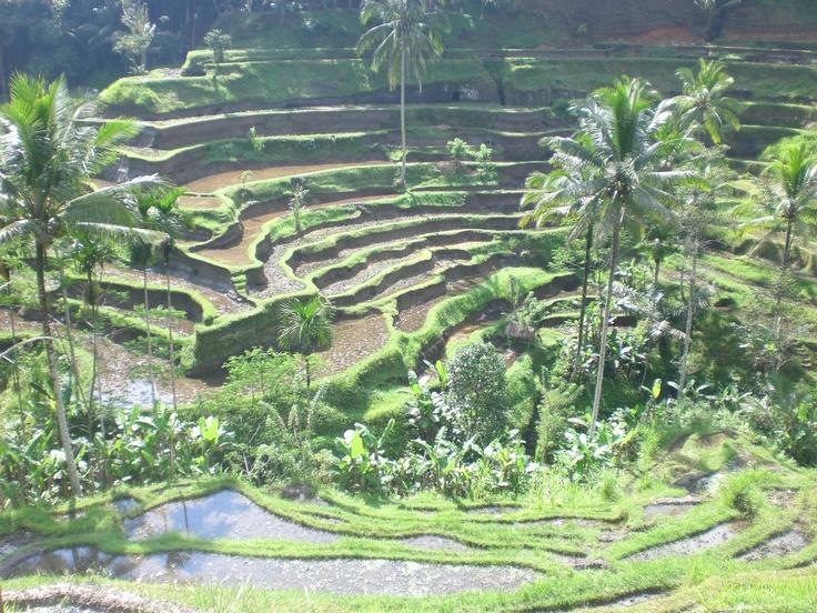 Rice terraces ubud bali indonesia around the globe for Terrace ubud bali