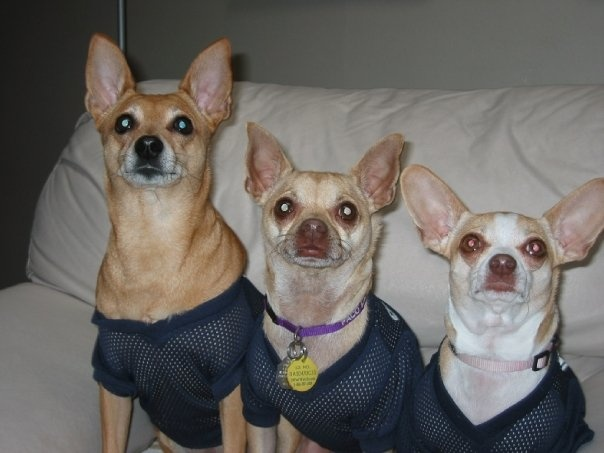 Small, medium, or large?   Dogs - Chihuahuas!   Pinterest