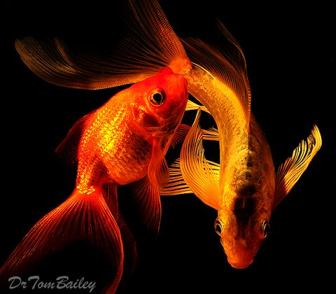 Pin by kerry ailie on my goldfish obsession pinterest for Fancy koi fish
