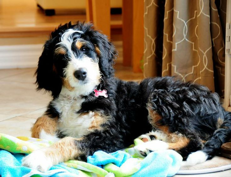 Image Result For Bernedoodle Cost