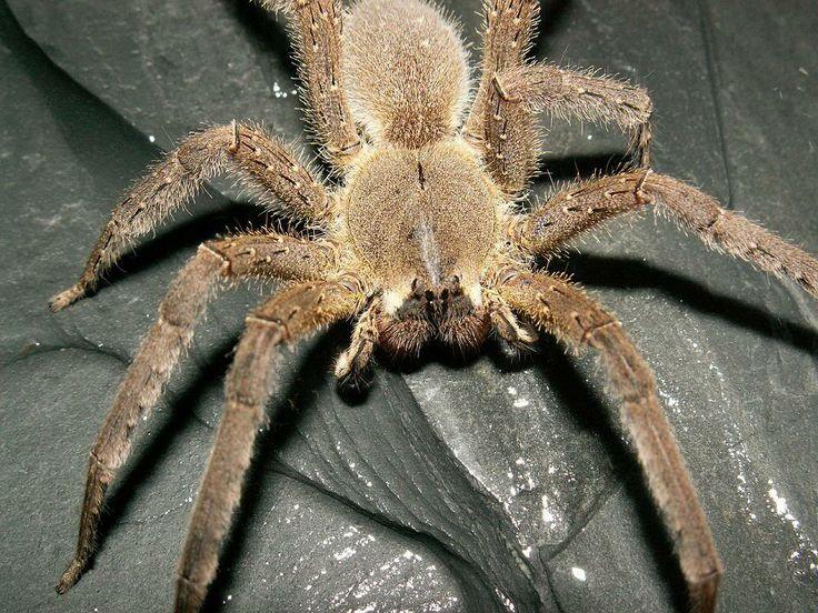 Amazon Rainforest Spiders - photo#11