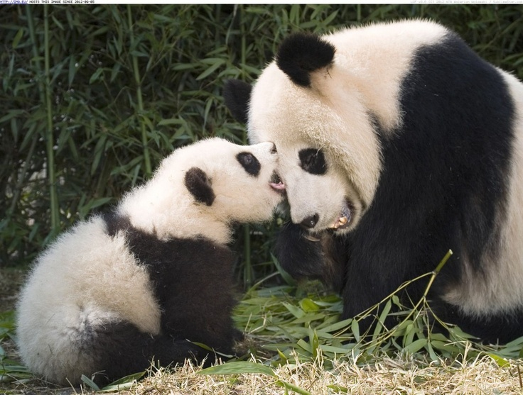 Giant Panda Cubs Playing giant-panda-and...
