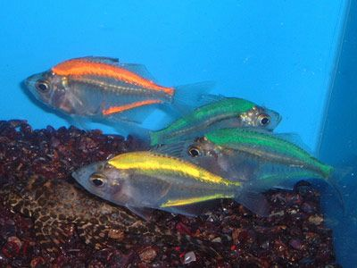 interesting glass fish Tropical & Marine Life Pinterest