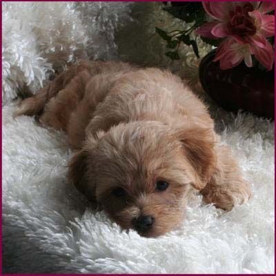 Maltipoo Puppies 4 Sale Apricot Puppy Dog Breeders Iowa Polyvore | Dog ...