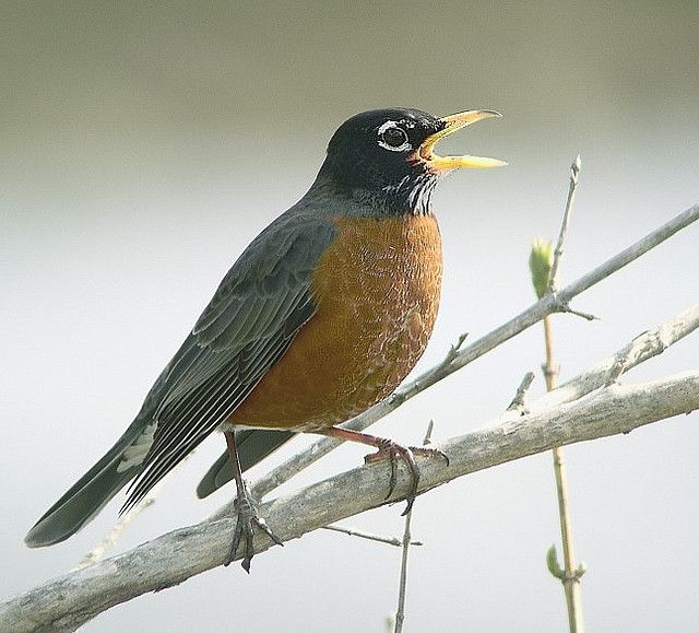 American robin is 9 to 11 inches long with a gray back and brick