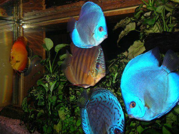 poisson d 39 eau douce recherche google poissons d 39 eau douce pinte. Black Bedroom Furniture Sets. Home Design Ideas