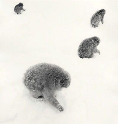 Rolfe Horn, Snow Monkeys, Study 1, Jigokudani, Japan 2004