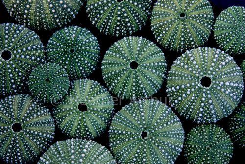 Sea urchins so pretty