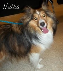 Sheepdog Sheltie Dog in #GrandRapids, #MICHIGAN. Nalha is a 3 year old ... Old English Sheepdog Kent