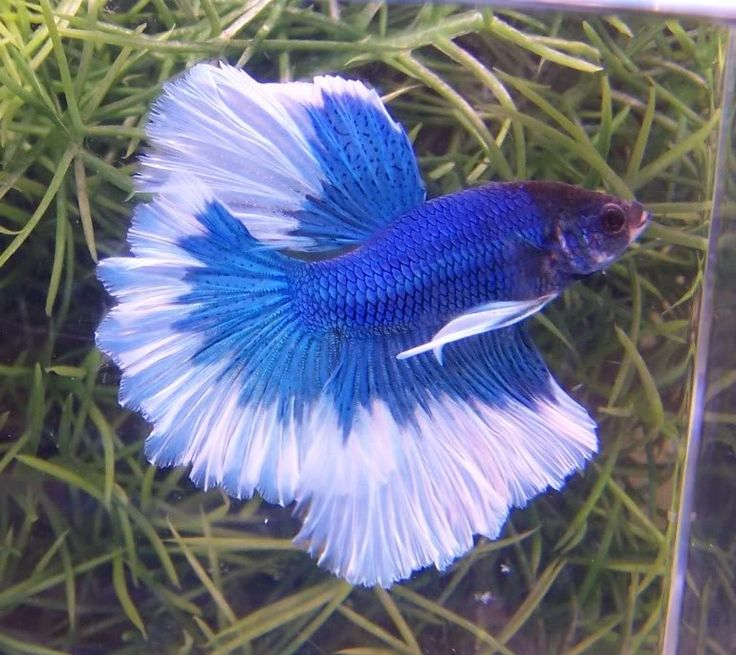 Blue and white betta fish for Betta fish life