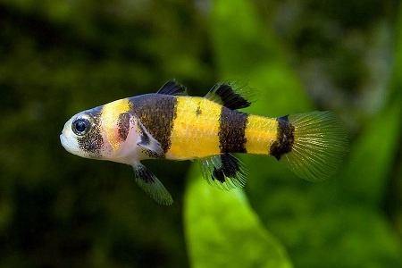 Bumblebee Goby : Bumble Bee Goby Fishtanking Pinterest