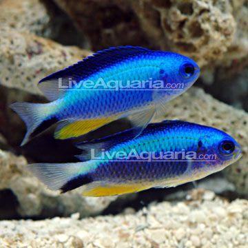 Neon damselfish colour pinterest for Fish representative species