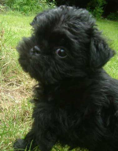 Affenpinscher puppy | dogs | Pinterest
