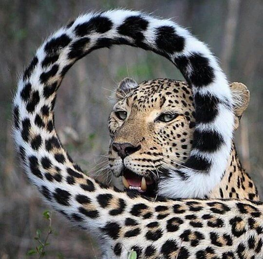 Funny cheetah pictures