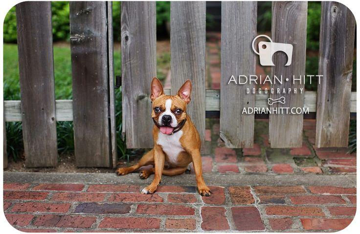 Fawn Boston Terrier
