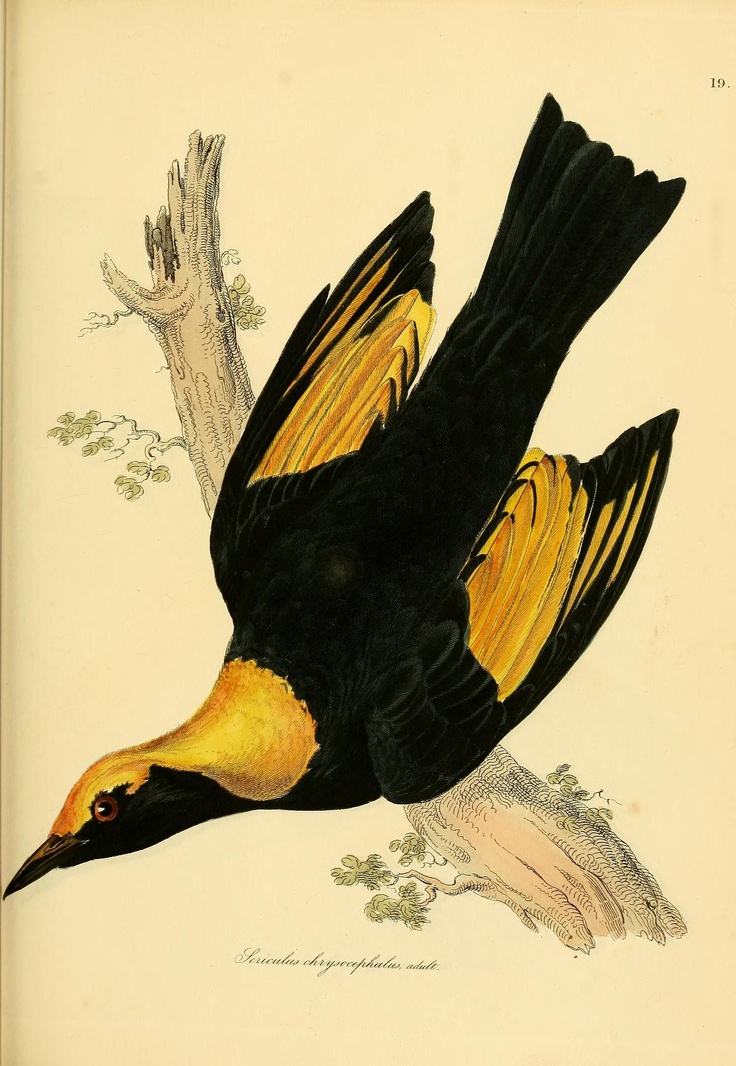 Illustrations of ornithology v.1  Dublin :Longman, Rees, Orme, Brown, & Green, and S. Highley ;[1826-1835]  Biodiversitylibrary. Biodivlibrary. BHL. Biodiversity Heritage Library.