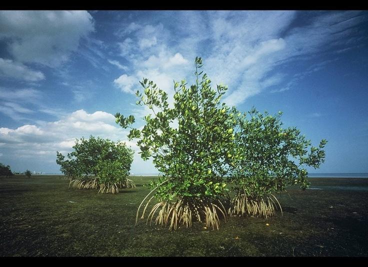 Biscayne Bay Mangroves