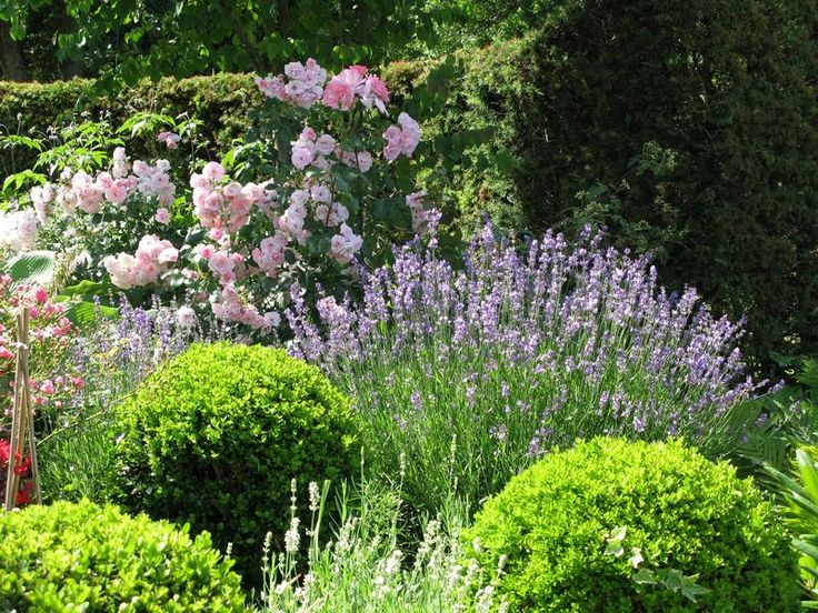 For front garden: Boxwood, lavender and roses from Modern Country Garden Combos: Lavender And Topiary