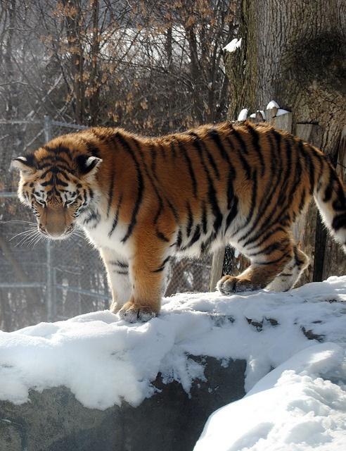 Tiger Cub / DSC_6559_edit on Flickr.