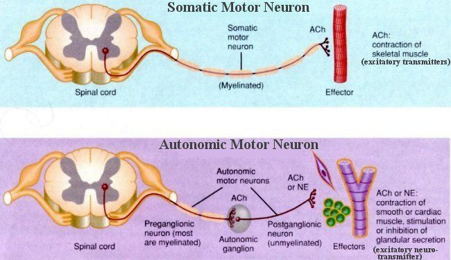 Neuron anatomy carries signals to and from skeletal muscles mainly