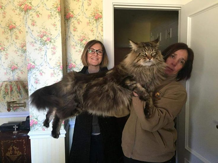 Giant house cat breed