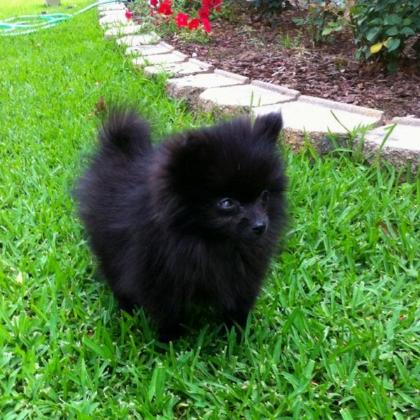My Pomeranian baby zeta | puppy love | Pinterest