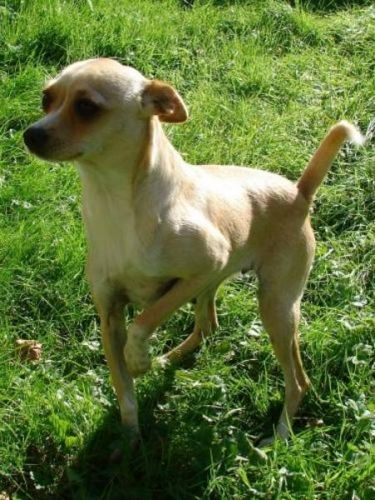 italian greyhound chihuahua - photo #13