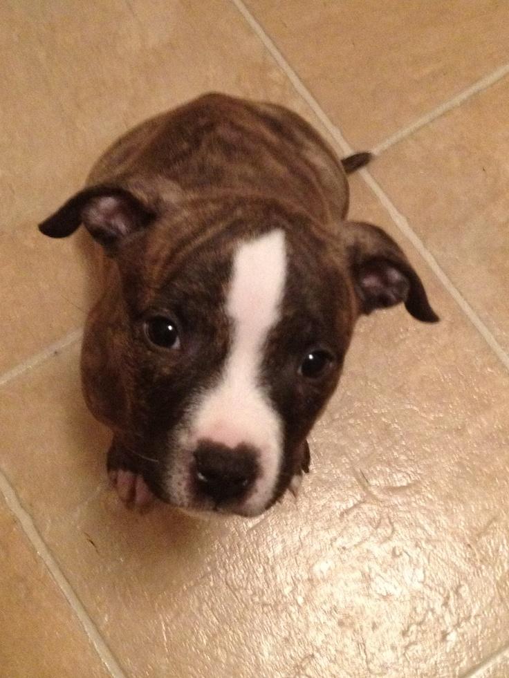 Blue nose Brindle Pitbull :) Little OSHA | Pets | Pinterest