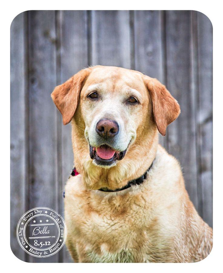 Bella - August 5 - Yellow Labrador Retriever