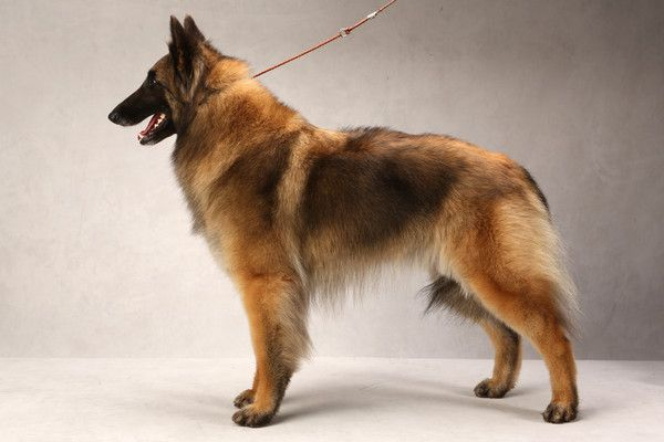 Hazy the Belgian Tervuren (Herding). Hazy, registered as Hillside Special And Hamazing, is owned by Stanley and Bonnie Kreider. (Fred R. Conrad, a New York Times photographer, set up a studio at the 2013 Westminster Kennel Club dog show and invited Best of Breed winners to pose.)