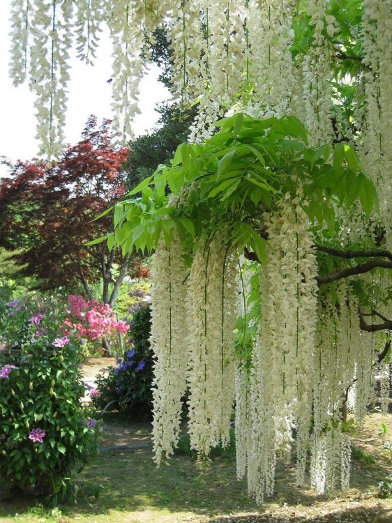 The White Wisteria  Wow!  that's beautiful!