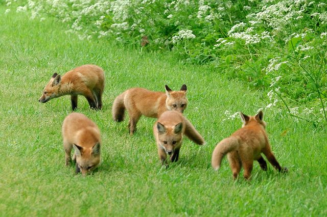Red Fox CubsRed Fox Cubs
