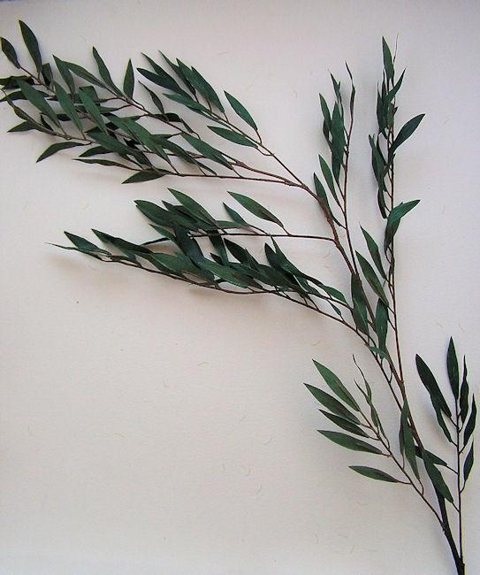 eucalyptus willow leaves pinterest