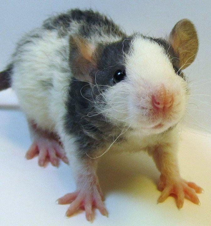 Baby fancy rats