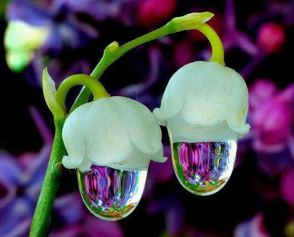 Beautiful flower water droplet | Morning Dew Drops | Pinterest