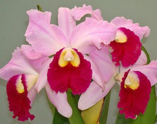 orchids for valentines day meaning