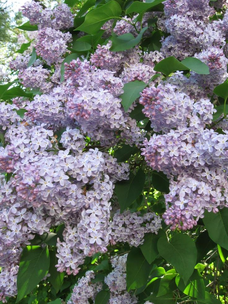 common lilac shrubs pinterest. Black Bedroom Furniture Sets. Home Design Ideas