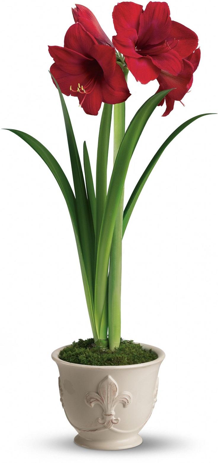 Teleflora 39 s merry christmas amaryllis amaryllis pinterest for Fleurs amaryllis bouquet