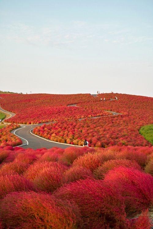 Kochia Hill, Hitachinaka city, Japan.