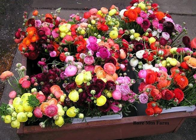 A cart full of colorful ranunculus.