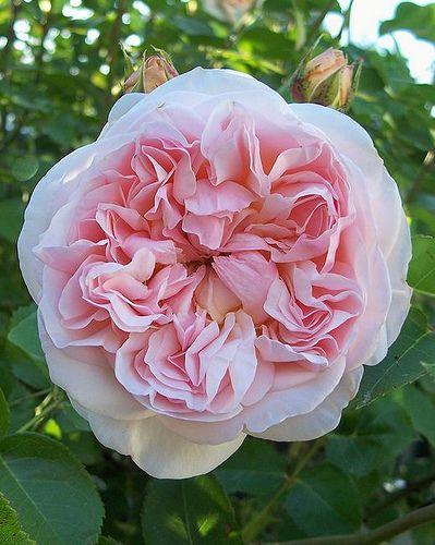 Evelyn rose by alittlebitmagic, via Flickr
