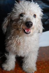 Santino - A white Poodle-mix puffball