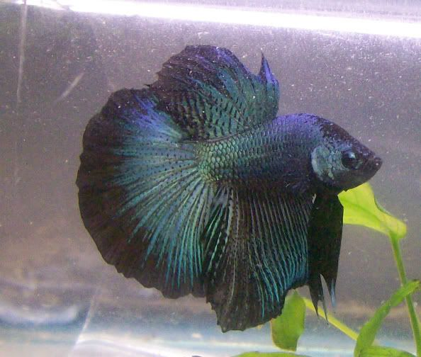 Pin by leola butcher on bettas pinterest for Betta fish personality