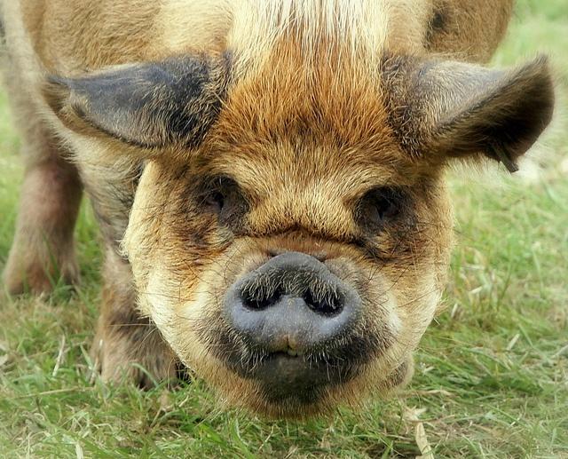 A Kune Kune pig - shot taken by Steve  Maskell, a Flickr friend.