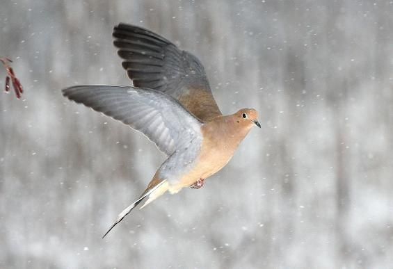 Morning dove bay area birds pinterest for Mourning dove tattoo